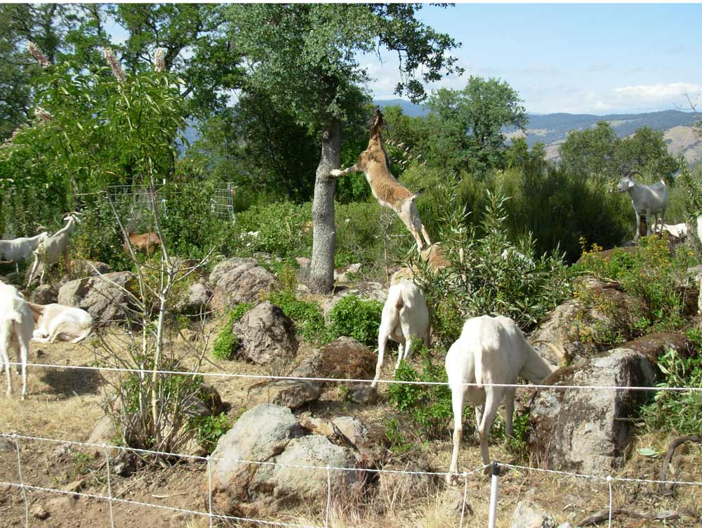 Goats clearing weeds, underbrush and ignorant claims from the Mount Olympus of science to creat a 300 foot nonsense free zone to prevent the flames of political prejudice and funding necessity from leaping the barrier and reducing the strong trees and pretty flower gardens of productive research to ashes and idiocy.