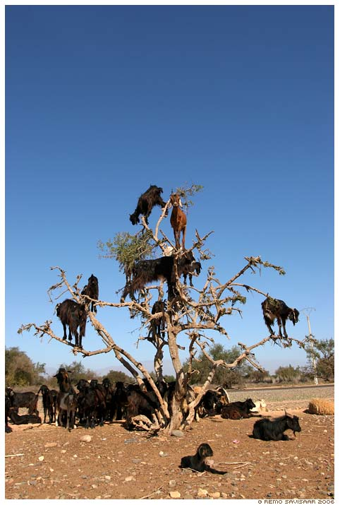 Goats up an Afran tree looking for fruit and avoiding the fierce sharp toothed raging defenders of the HIV faith looking to take a bite out of their hide