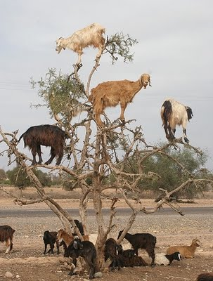Goats up an Argan tree, or HIV doubters eating of the fruit of wisdom while watching out for rabid HIV defenders