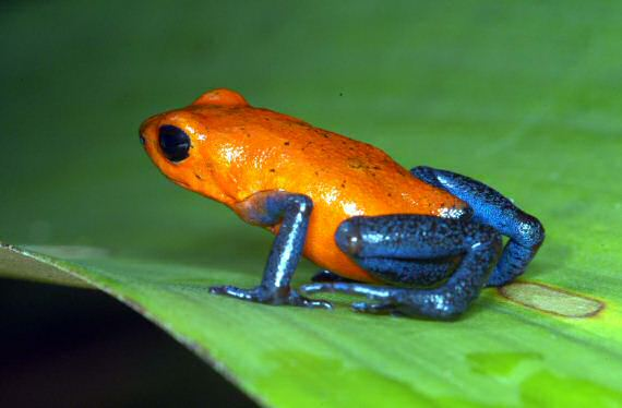 The Poison Dart Frog is the only animal known to be poisonus enough to kill a human with a touch.