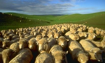sheep-flock.jpg